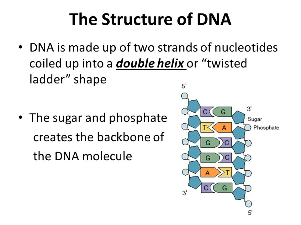 The Structure of DNA DNA is made up of two strands of nucleotides coiled up into a double helix or twisted ladder shape.