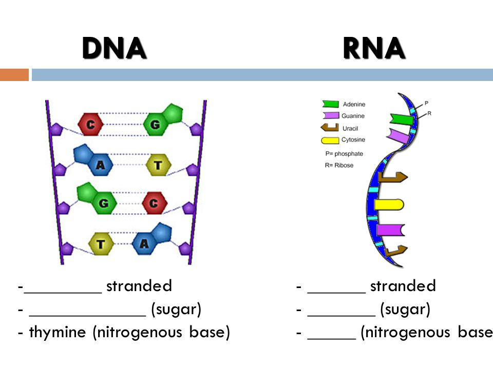 Blueprint of life standard 5a c ppt video online download 4 dna malvernweather Image collections
