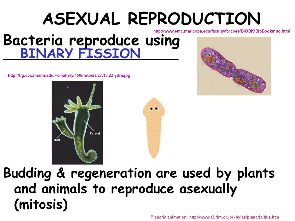 Mitosis related to asexual reproduction in bacteria