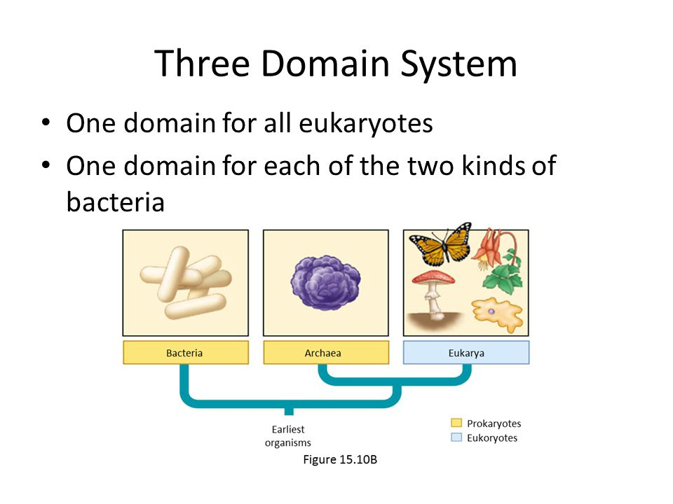 Three Domain System One domain for all eukaryotes