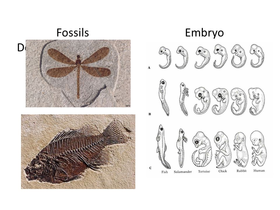 Fossils Embryo Development