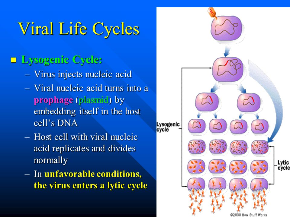Viral Life Cycles Lysogenic Cycle: Virus injects nucleic acid