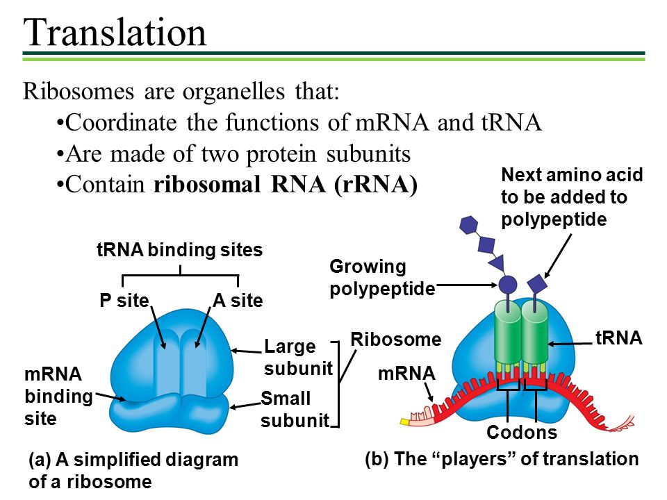 Translation+Ribosomes+are+organelles+that%3A exam ii tuesday 5 10 bring a scantron with you! ppt download