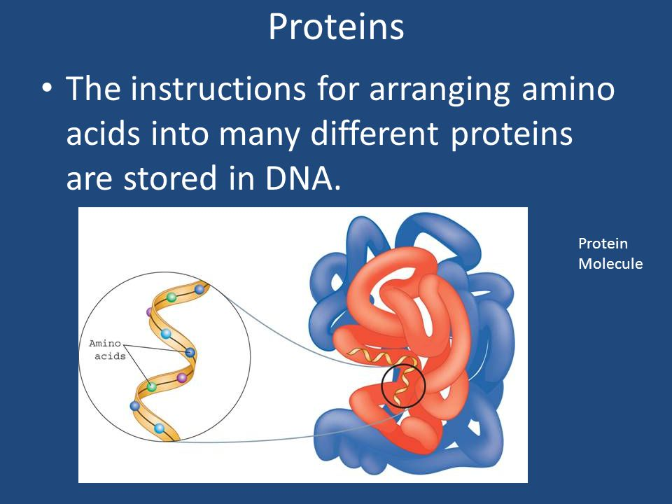 Proteins The instructions for arranging amino acids into many different proteins are stored in DNA.