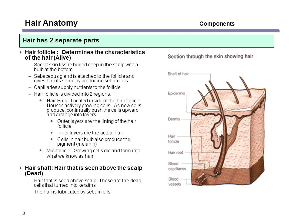 Fancy Hair Follicle Anatomy Pattern Anatomy And Physiology Biology