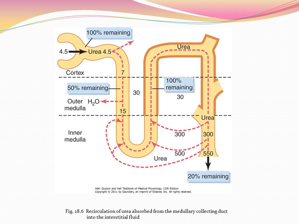 Fig Recirculation of urea absorbed from the medullary collecting duct