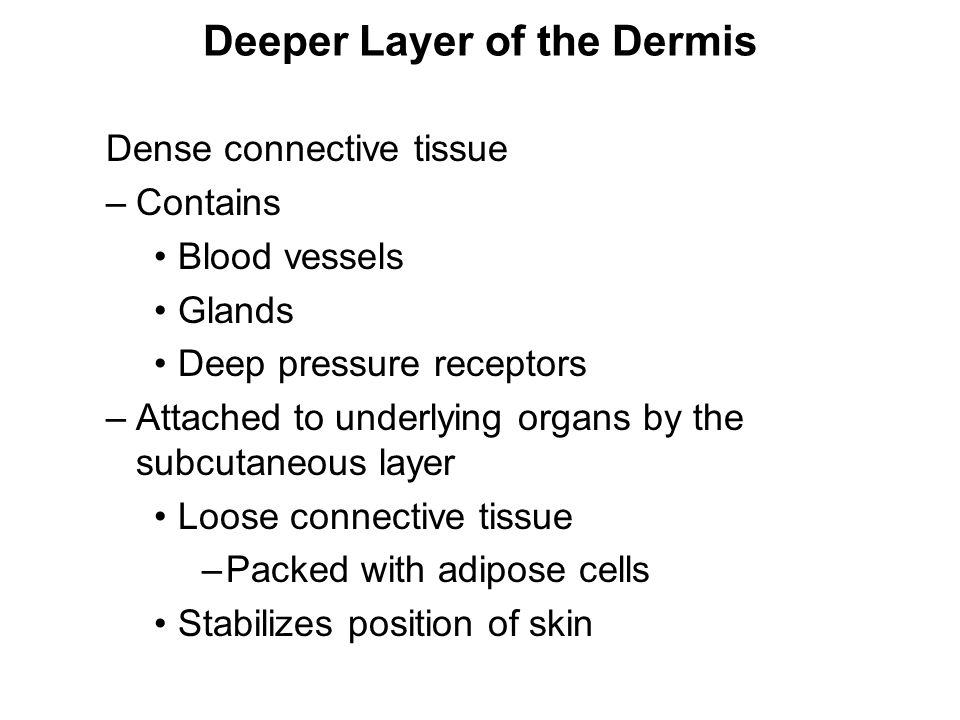 Deeper Layer of the Dermis