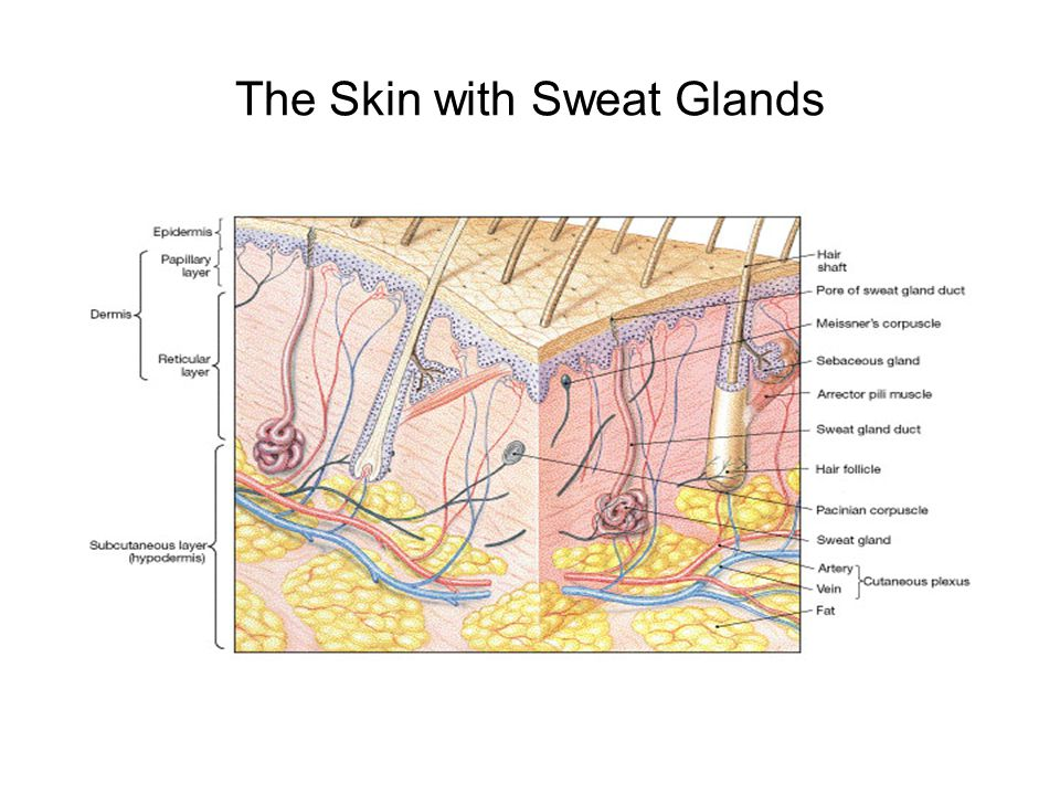 The Skin with Sweat Glands