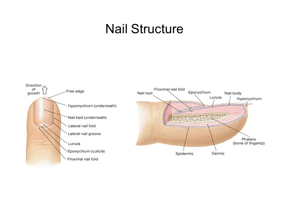 Magnificent Nail Bed Anatomy Photo - Anatomy And Physiology Biology ...