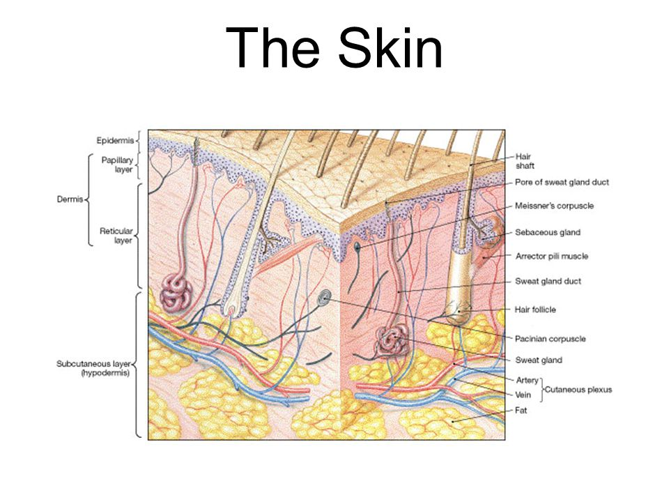 Simple Integumentary System Skin Diagram Trusted Wiring Diagram