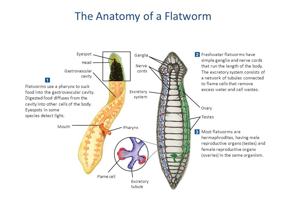Platyhelminthes General Characteristics Ppt Video Online Download