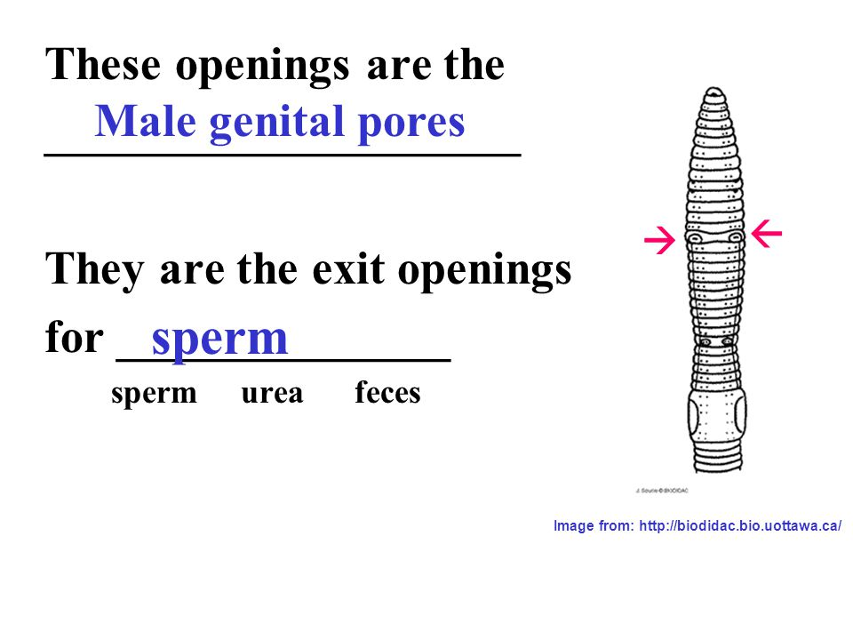 Diagram Of A Worm Male Genital Pore - Complete Wiring Diagrams •