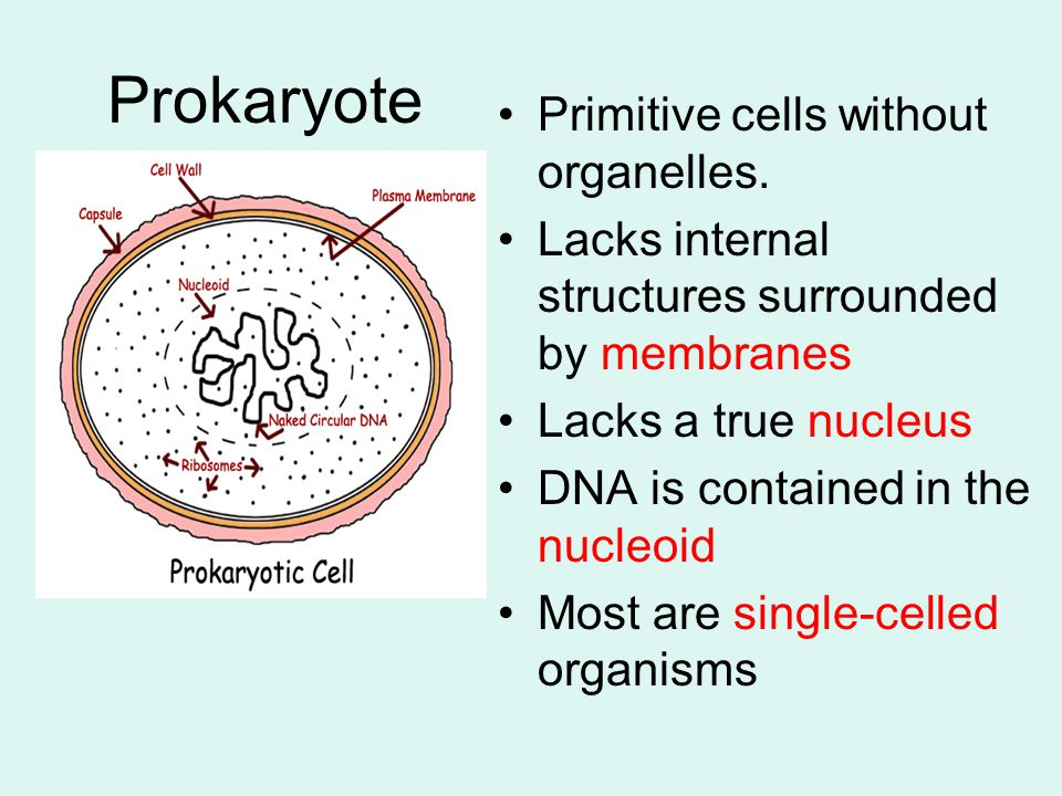 Prokaryote Primitive cells without organelles.