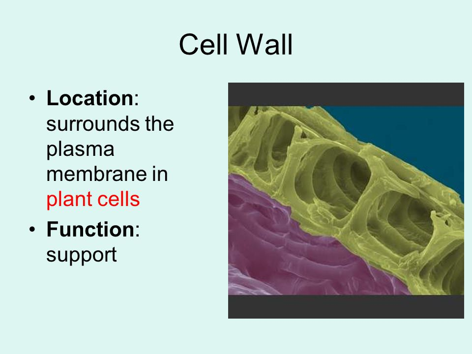 Cell Wall Location: surrounds the plasma membrane in plant cells