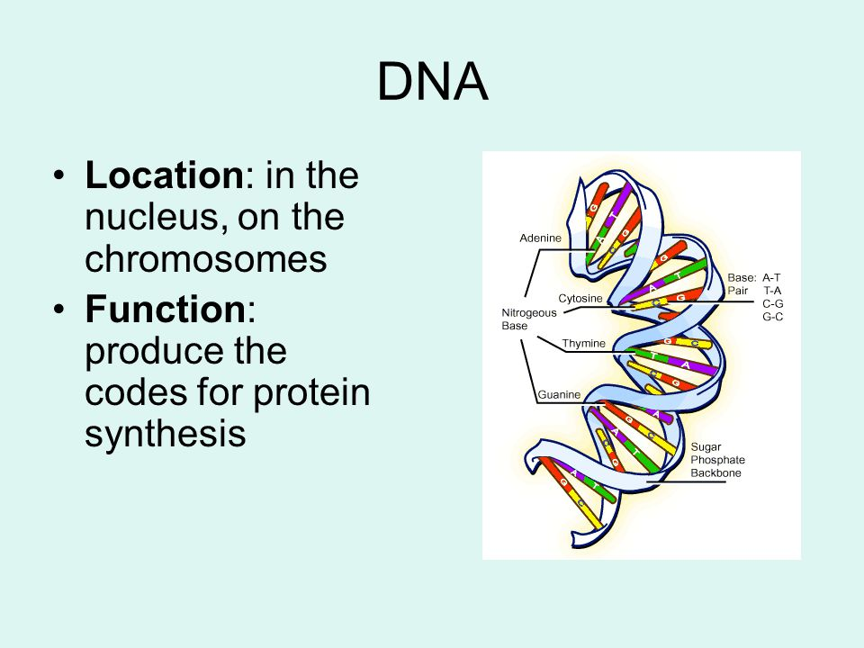 DNA Location: in the nucleus, on the chromosomes