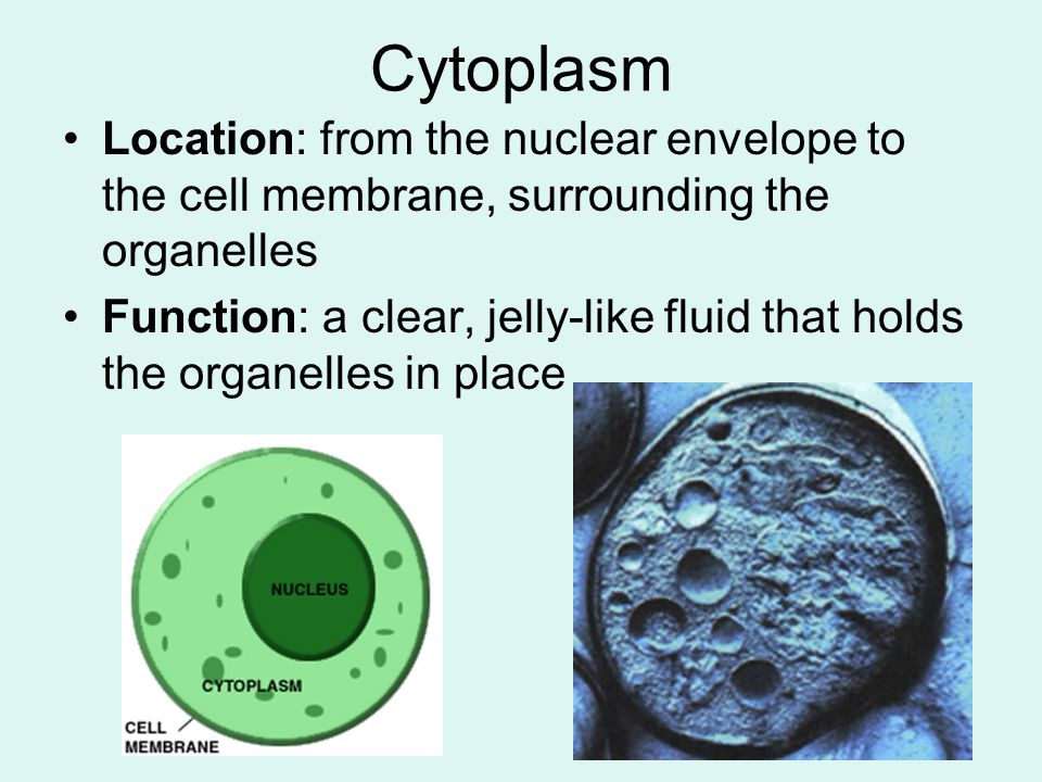 Cytoplasm Location: from the nuclear envelope to the cell membrane, surrounding the organelles.