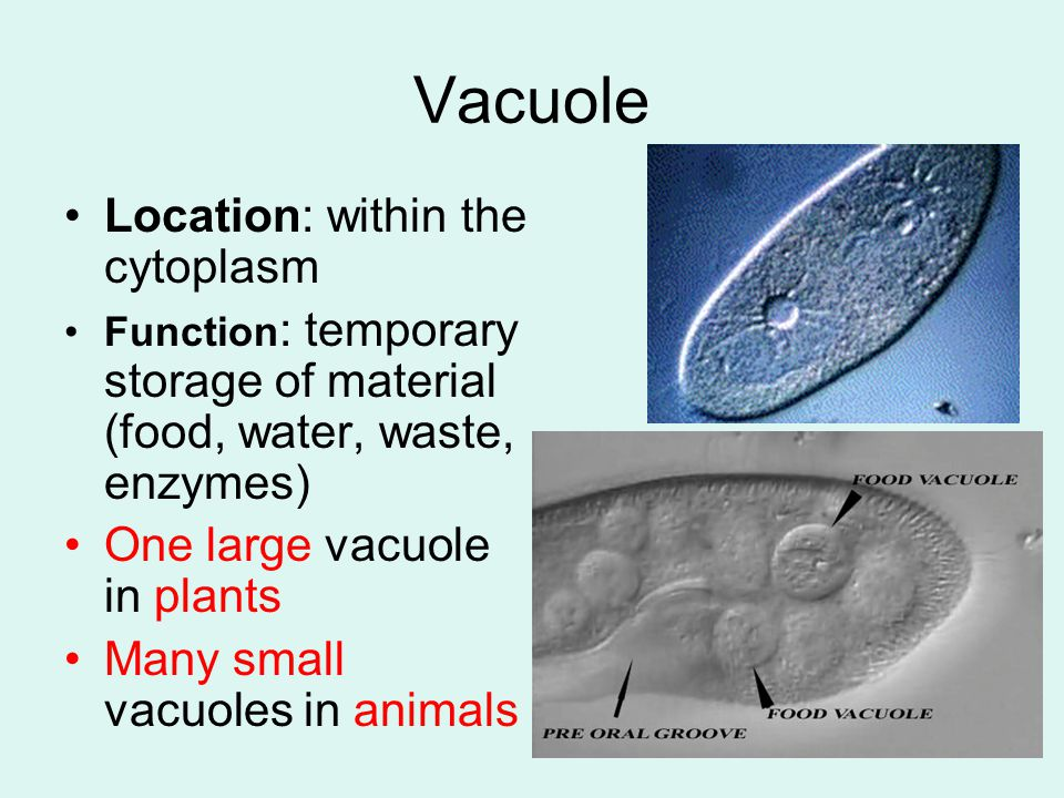 Vacuole Location: within the cytoplasm One large vacuole in plants