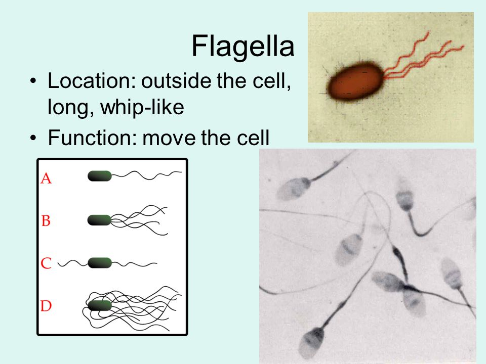 Flagella Location: outside the cell, long, whip-like