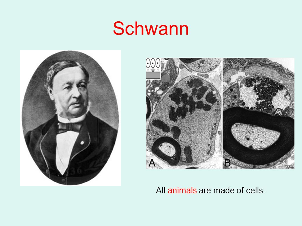 Schwann All animals are made of cells.