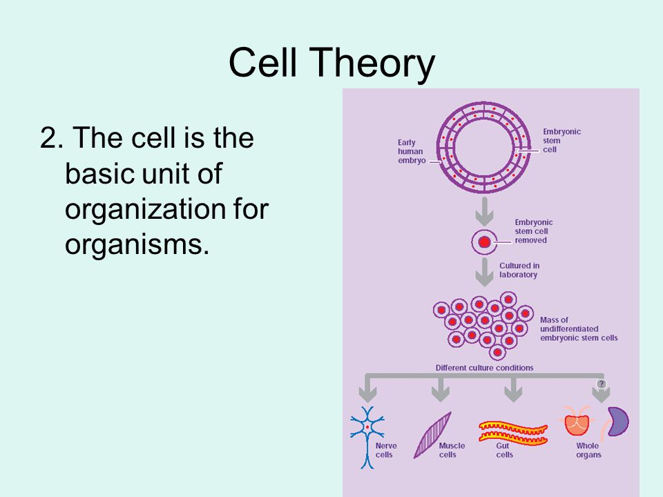 Cell Theory 2. The cell is the basic unit of organization for organisms.