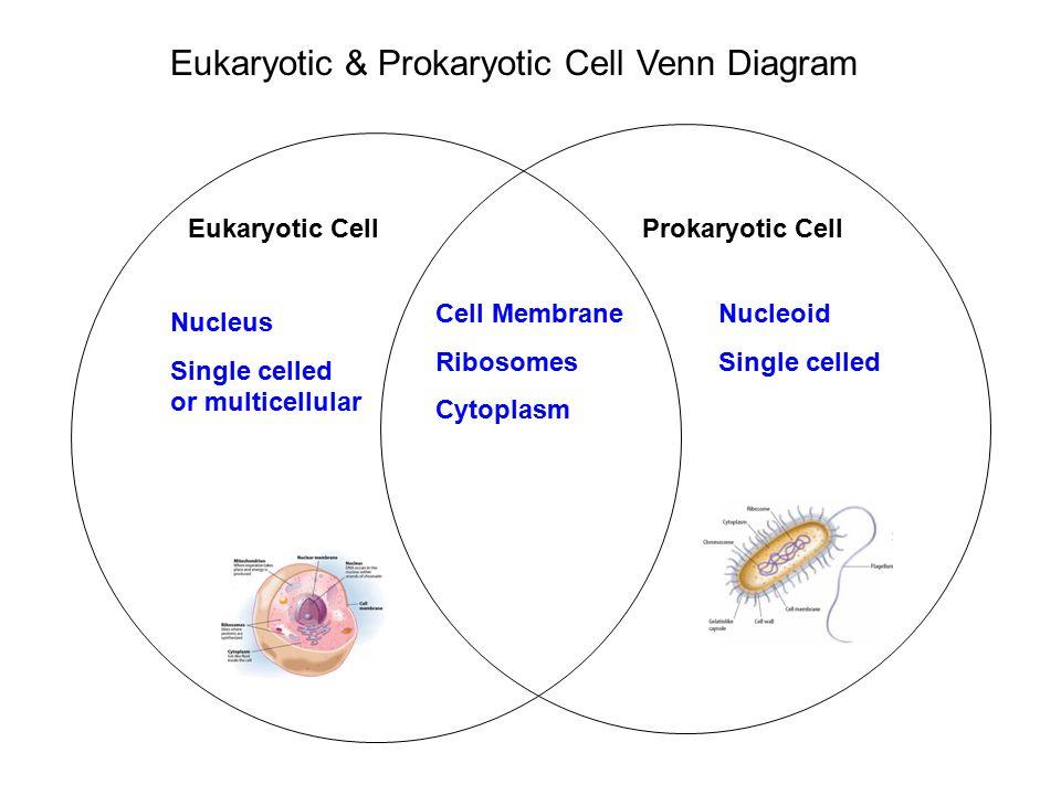 Plant Cells Animal Cells And Prokaryotic Cells Venn Diagram Basic