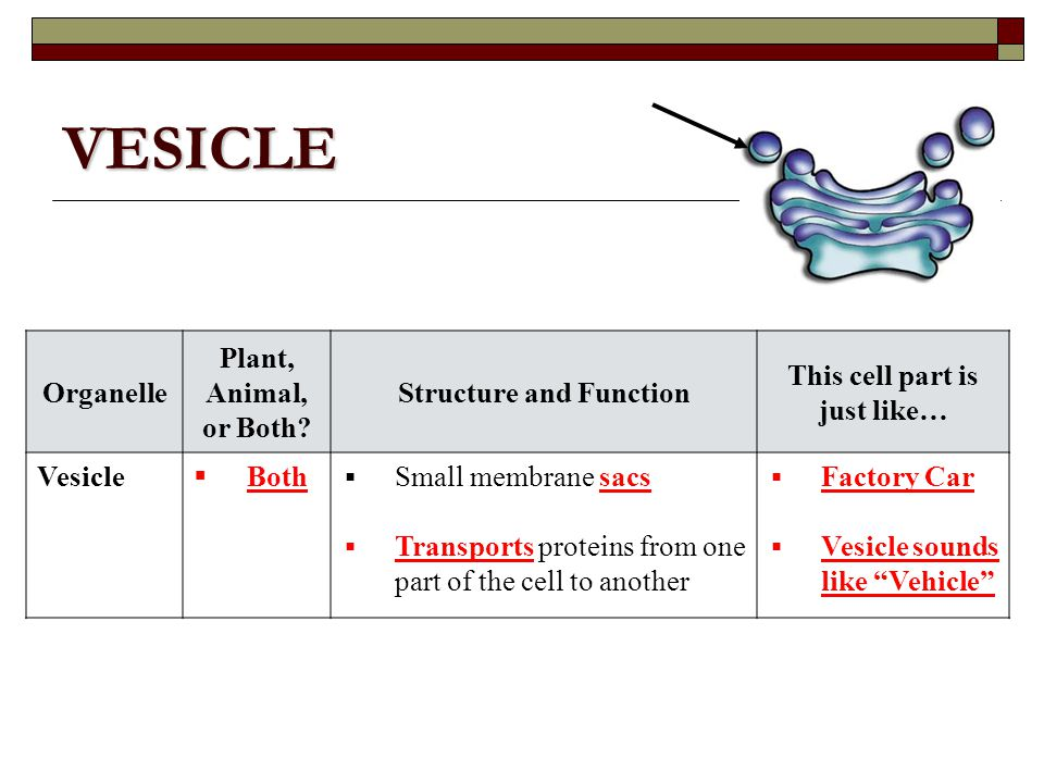 Vesicle animal cell function - photo#39
