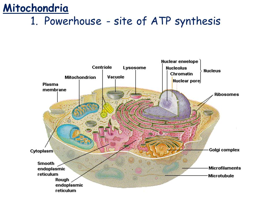 Mitochondria 1. Powerhouse ‑ site of ATP synthesis Mitochondria