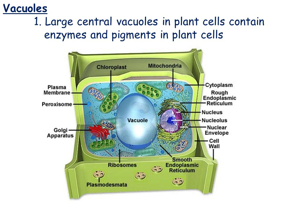 Vacuoles 1. Large central vacuoles in plant cells contain enzymes and pigments in plant cells.