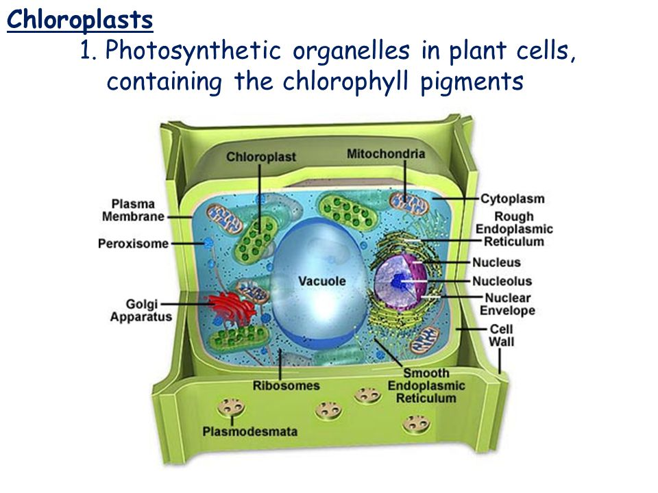 Chloroplasts Chloroplasts 1. Photosynthetic organelles in plant cells,
