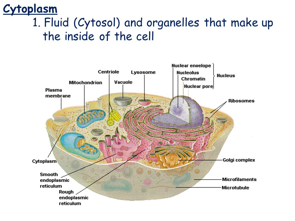 Cytoplasm Cytoplasm 1. Fluid (Cytosol) and organelles that make up