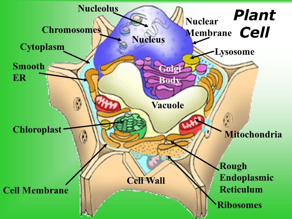 plant and animal cells ppt download