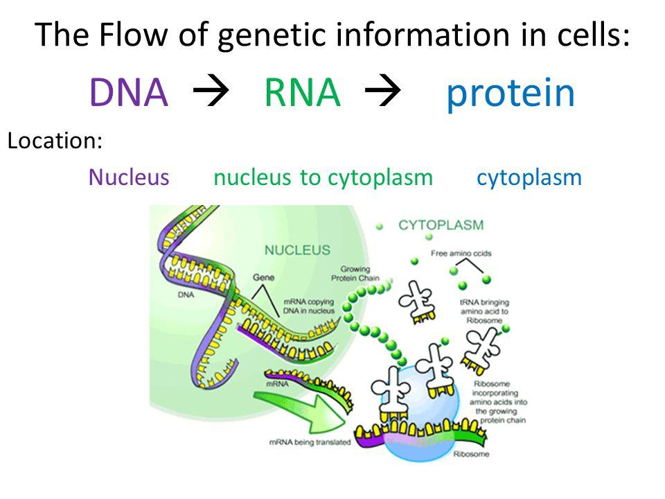 genetic diagram of protein genetic diagram of reptiles