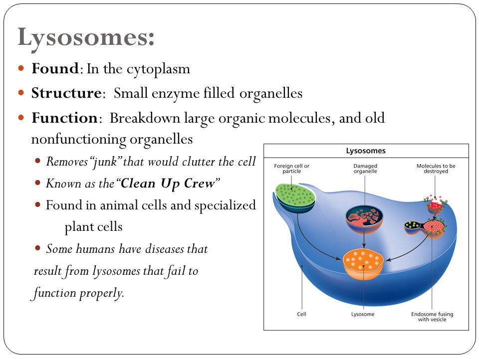 is lysosome present in plant cell