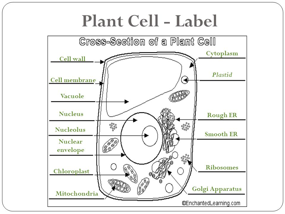 Cells Structure And Function Chapter 7 Ppt Video Online
