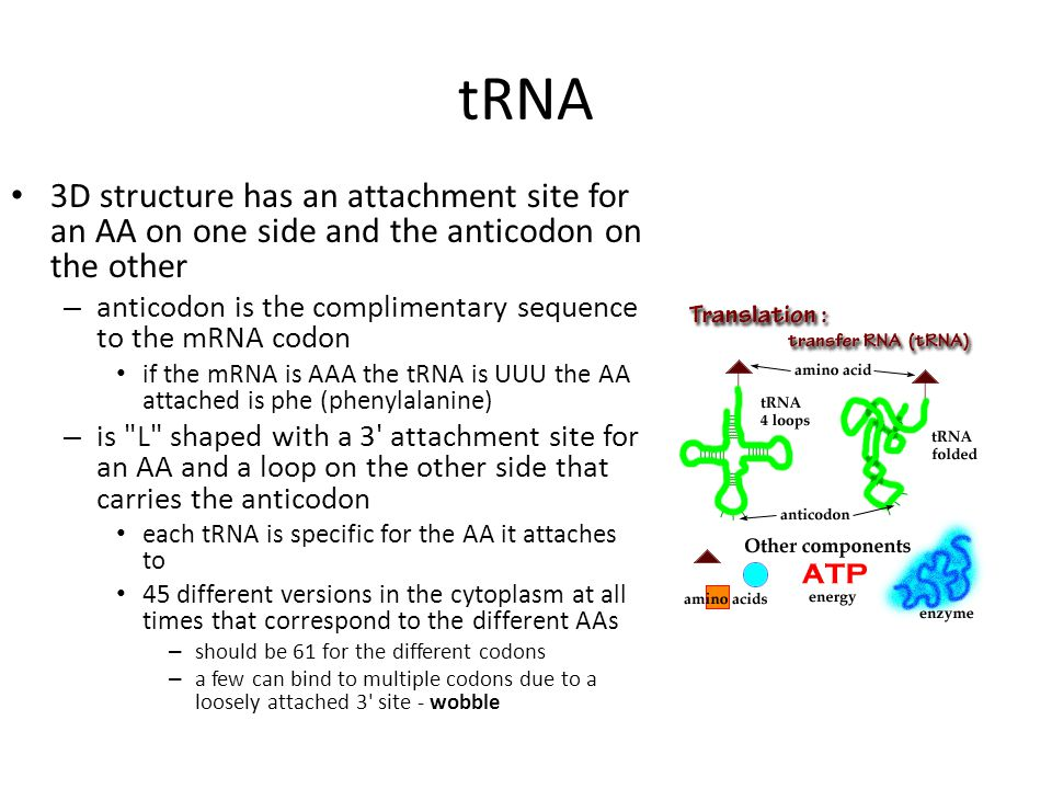 Translation Translation is the process of building a protein