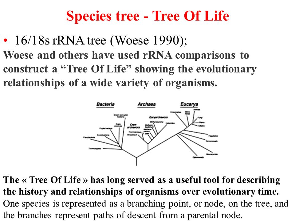 Species tree - Tree Of Life