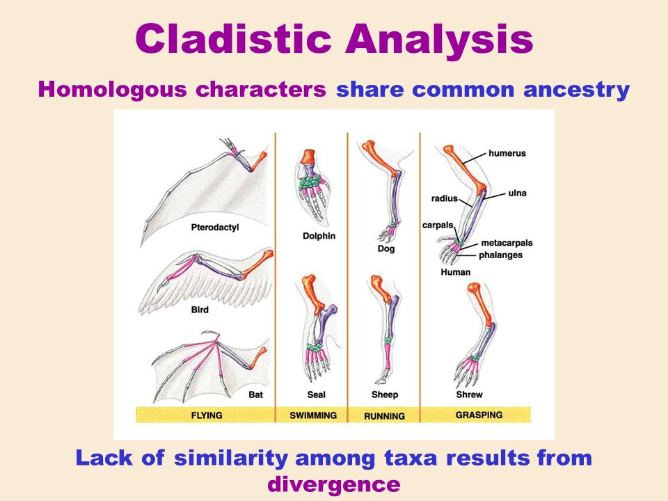 Cladistic Analysis Homologous characters share common ancestry