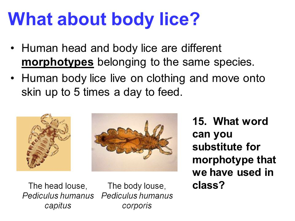 A tale of three lice why do humans have three different forms of what about body lice human head and body lice are different morphotypes belonging to the same ccuart Gallery