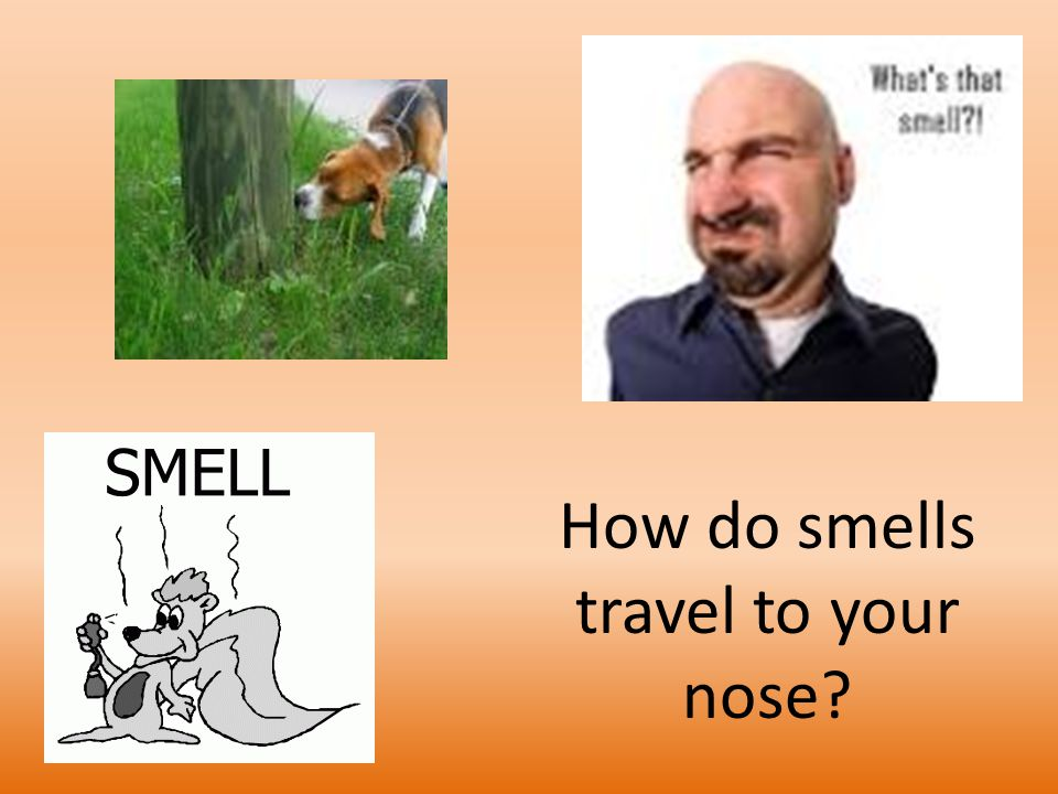 How do smells travel to your nose? - ppt download