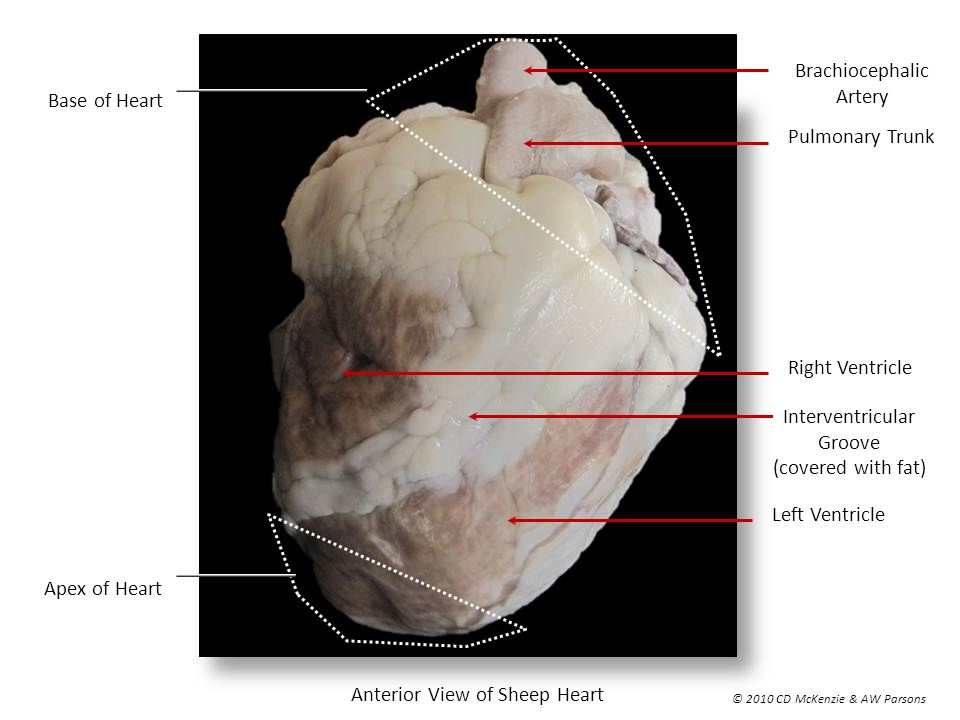 Anterior View of Sheep Heart - ppt video online download