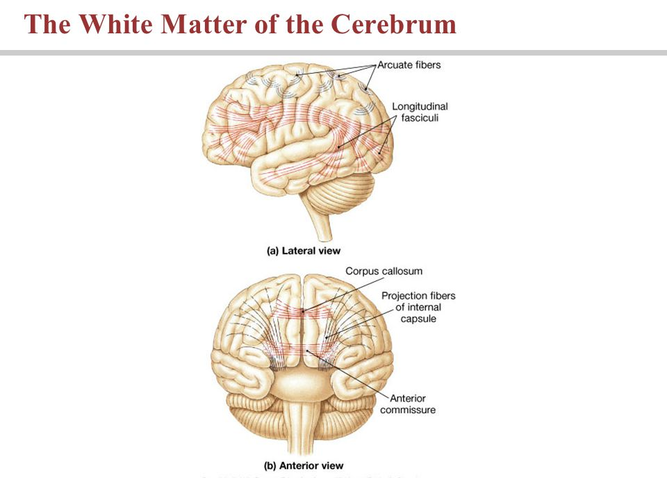 The White Matter of the Cerebrum
