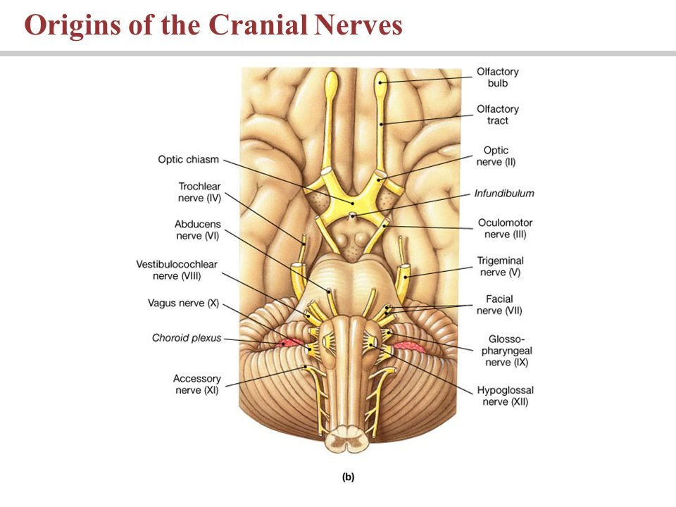 Origins of the Cranial Nerves