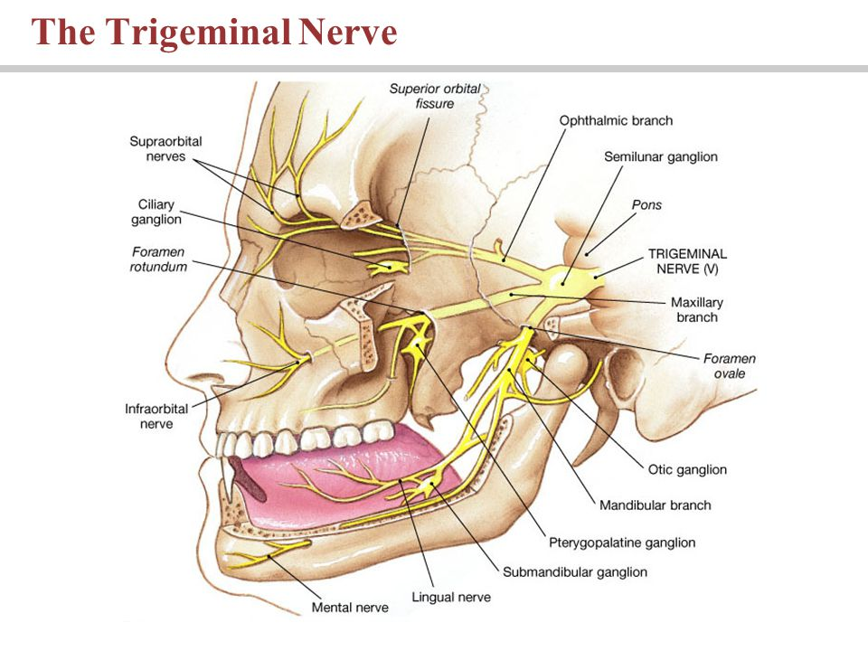 The Trigeminal Nerve PLAY