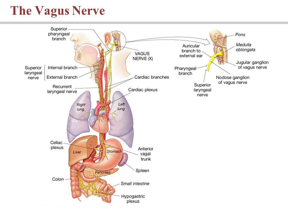 The Vagus Nerve PLAY