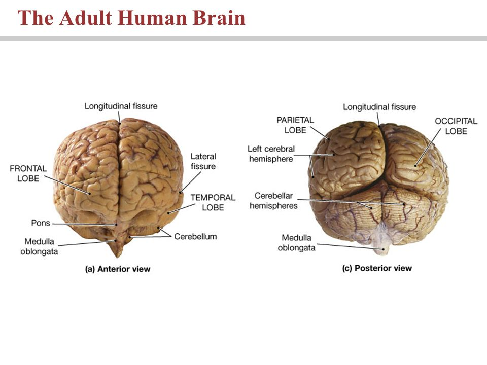 The Adult Human Brain