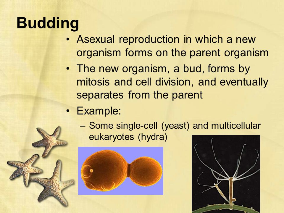 Budding asexual reproduction in plants