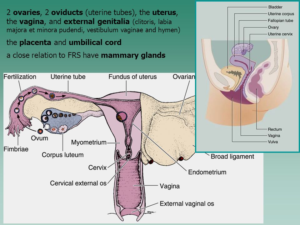 Microscopic Structure Of Female Reproductive System Ppt Video