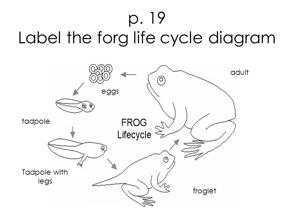 p. 19 Label the forg life cycle diagram