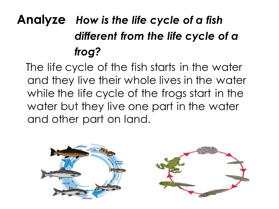 Analyze How is the life cycle of a fish