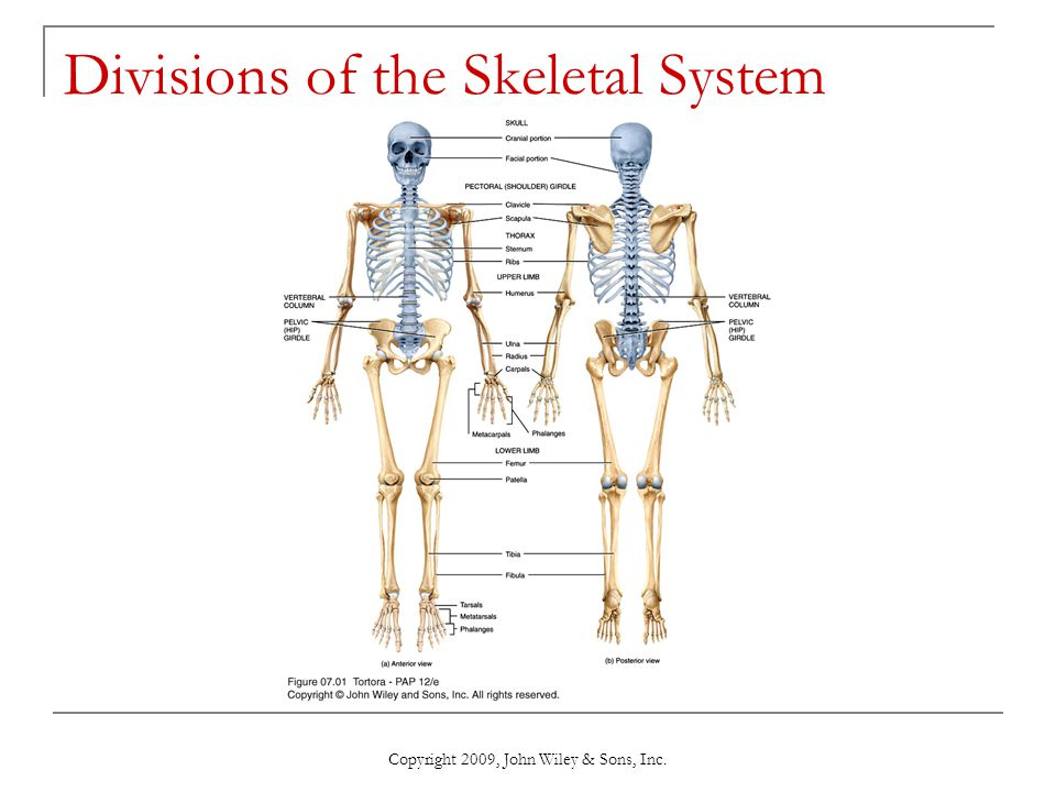 Chapter 7 The Skeletal System The Axial Skeleton Ppt Video